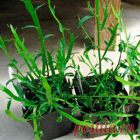 """Комнатное растение Гомалокладиум (Homalocladium). Если вы захотите удивить знакомых необычным растением, попробуйте найти гомалокладиум. Его название указывает на зеленые игловидные веточки, играющие роль листьев - так называемые кладодии. Видовое наименование (H.platycladum) намекает еще и на плоские стебли (греч. platys - """"плоский"""", """"широкий""""). В диком виде эти растения встречаются на островах Новая Гвинея и Новая Каледония."""