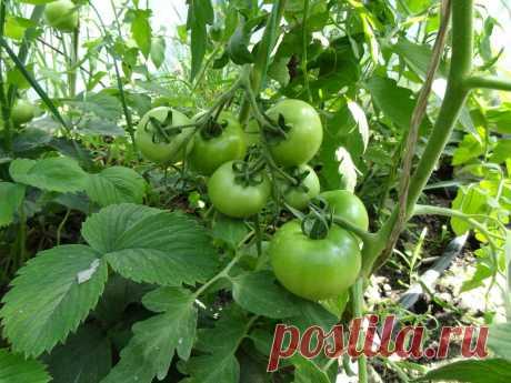 Универсальная подкормка 3 в 1 для томатов по листу в конце июня для увеличения количества завязей и высокого урожая. | Время почитать | Яндекс Дзен
