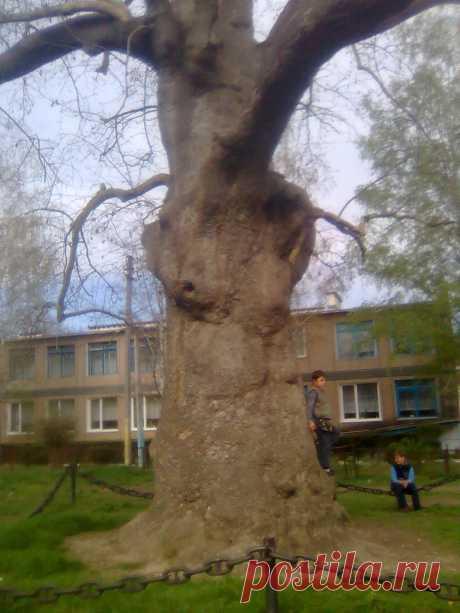 Платан в п. Терновка. Дереву более 250 лет.
