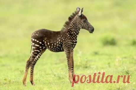 В Кении появилась на свет зебра с уникальным окрасом В национальном парке в Кении появилась на свет зебра с уникальным окрасом. Животное гор