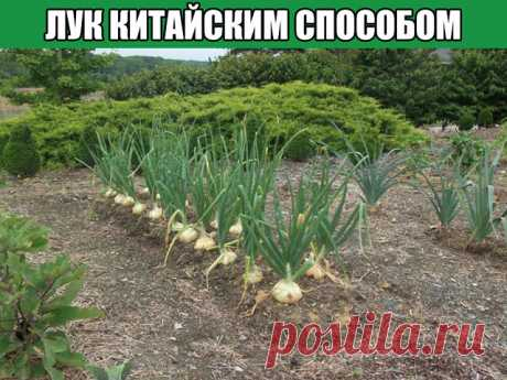 In the Chinese way - taste onions, you will not regret!\u000d\u000a\u000d\u000aThis year onions at us in a kitchen garden grew splendidly. Bulbs are unusually large, healthy, bright orange color that testifies to a good maturity. However, quite flat form that not absolutely answers its high-quality sign. The matter is that we for the first time used the Chinese way — grew up onions on crests.\u000d\u000a\u000d\u000aWillingly I will share the experience\u000d\u000a\u000d\u000aIt is the best of all to grow up onions the next year after cabbage, spinach, ogur...