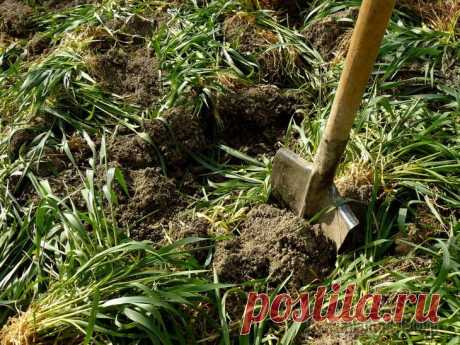 The growing fertilizers. When to sow siderata