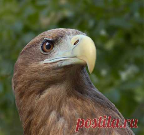 Фото Белохвостый орлан.