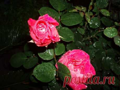 Бенгальская роза: виды, описание, выращивание и уход