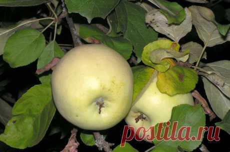 Сбор и хранение яблок — Делимся советами
