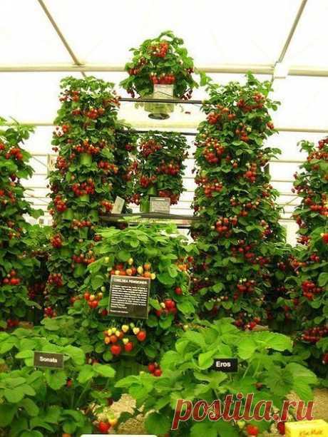 El modo vertical de la cultivación de la fresa