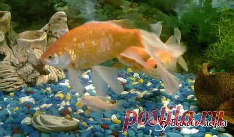 Бесконфликтный аквариум. Выбираем аквариумных рыб   Быково-медиа