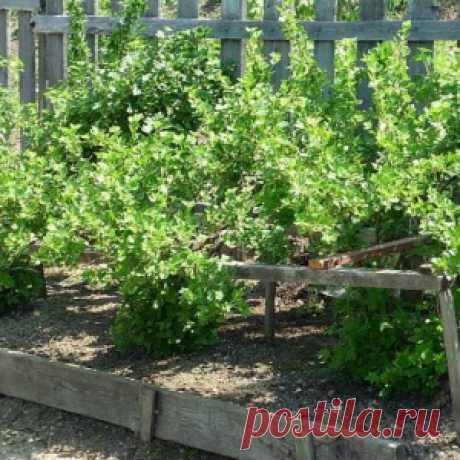 Сажаем крыжовник правильно – памятка садоводу