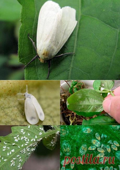 Способы борьбы с белокрылкой на комнатных растениях
