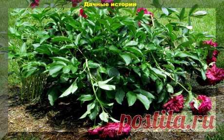Рассказываю, что нужно обязательно сделать с пионами после цветения | Дачные истории | Яндекс Дзен