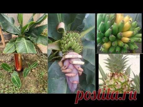 Банан. Несколько секретов по выращиванию - YouTube