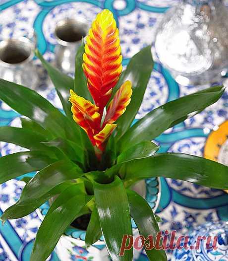 Выращиваем дома необычный комнатный цветок вриезию