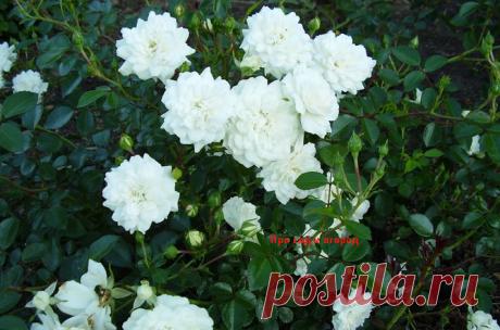 Живой ковер из белых роз - этот сорт станет вашим любимым   Про сад и огород   Яндекс Дзен