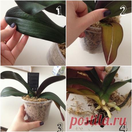 Размножение орхидей в домашних условиях с фото пошагово и видео: уход, полив, пересадка, вегетативное разведение детками и делением куста фаленопсиса, а также другие способы выращивания цветов дома
