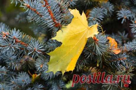 Лист я положил сам))  Не знаю...голубая ель и желтый лист... Судите сами))
