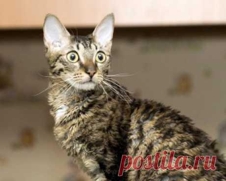 Уральский рекс - это очень любознательная и умная порода кошек, которая станет прекрасным выбором для семьи и ребенка.