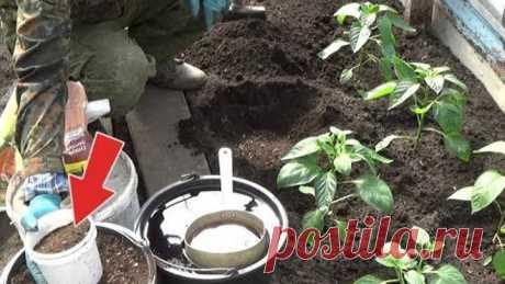Перец будет с голову если положить это в лунку при посадке! Подкормка для посадки рассады в грунт!