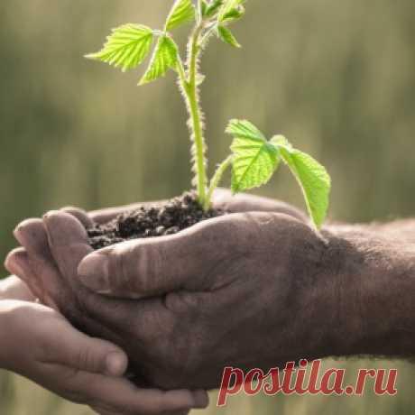 Как правильно посадить малину осенью?