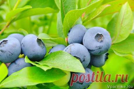 Frequent mistakes at cultivation of garden blueberry   Vparnike.ru