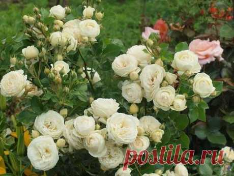 Подкормка для роз: раскрываю секреты буйного цветения