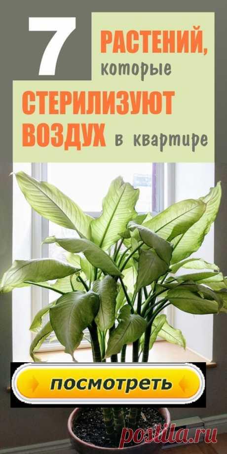 Комнатные растения очищают воздух, радуют своей природной красотой. Многие обладают лечебными свойствами. Какие домашние цветы способны помочь в лечении?