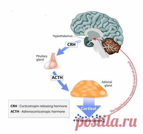Как научиться контролировать «гормон стресса» Кортизол или иными словами «гормон стресса» люди считают своим злейшим врагом. Некоторые полагают, что именно из-за этого гормона происходит набор веса, начинаются проблемы со сном, а мышечные ткани слабеют. Разобраться так ли это на самом деле или нет, вам поможет эта статья.
