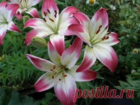 КОГДА ПЕРЕСАЖИВАТЬ ЛИЛИИ: ОСЕНЬЮ, ВЕСНОЙ ИЛИ ЛЕТОМ?  Царственная и изящная красавица лилия – хотя и многолетний цветок, но на одном и том же месте десятилетиями выращивать ее не получится,иначе клумба окажется слишком загущенной, цветки с каждым годом будут появляться все более мелкие, а потом и вовсе цветение может прекратиться. Показать полностью…