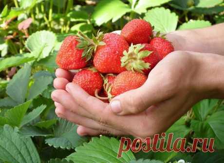 Какие 5 садовых работ с клубникой в Августе, обеспечат обильный урожай следующей весной   КОТоПЁСоМАНИЯ   Яндекс Дзен