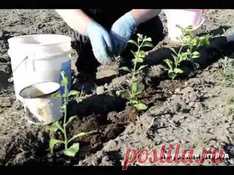 Выращивание стевии и как ухаживать за стевией, об этом вы узнаете в видео - медовая трава. Как правильно проводить уход за стевией в домашних условиях. Вырас...