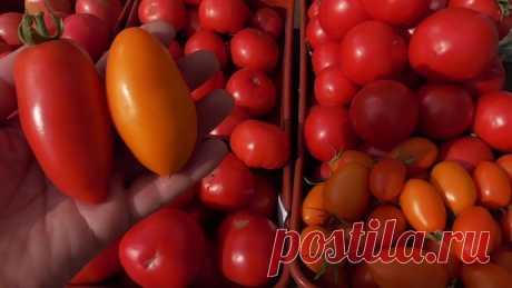 Сорта томатов долгого хранения