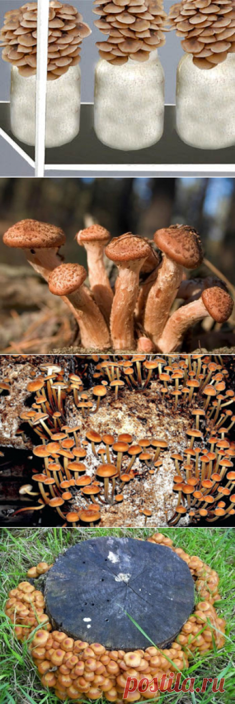 Вокруг света 999: Как самостоятельно выращивать или культивировать грибы опята в домашних условиях. Описание методик и технологий выращивания летних и осенних опят на приусадебном участке на пнях, в теплицах, погребах и в банках на подоконнике