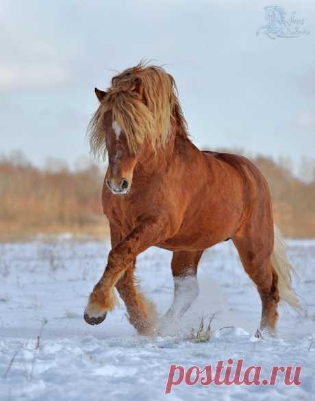Советская тяжеловозная - фотографии - equestrian.ru