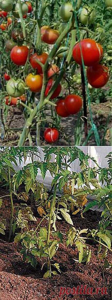 Нужно ли обрывать листья у томатов.