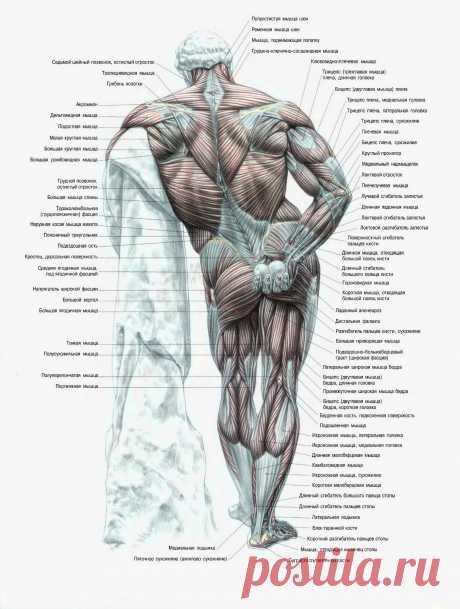 Атлас мышц человека. Вид со спины