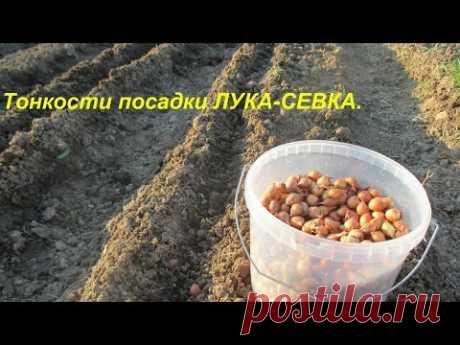 Тонкости посадки лука-севка. - YouTube