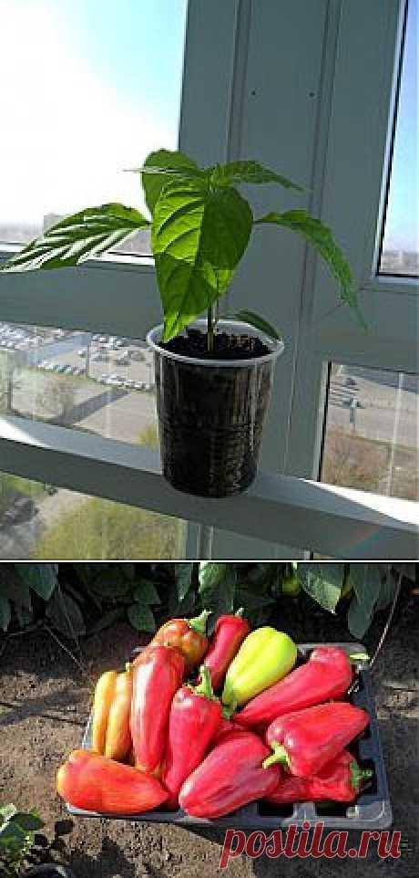 Как вырастить хороший урожай перца. Опыт огородников.