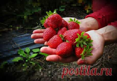 Продливаем урожай Клубники ДО АВГУСТА, проверенный способ кормиться ягодой весь летний сезон ЗА 0 РУБЛЕЙ | 6 соток