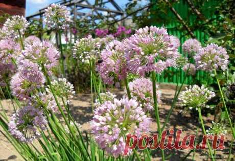 Цветущий лук (Беларусь) ☀😊🌈🎨