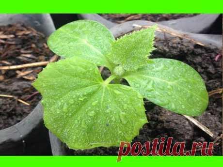 La cultivación de las plantas de los pepinos