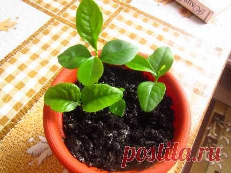 Удобрения для лимона Лимон в домашних условиях выглядит как маленькое деревце с плотными темно-зелеными листьями с блестящей поверхностью. Комнатный лимон цветет на протяжении длительного периода времени и дает плоды, кот...