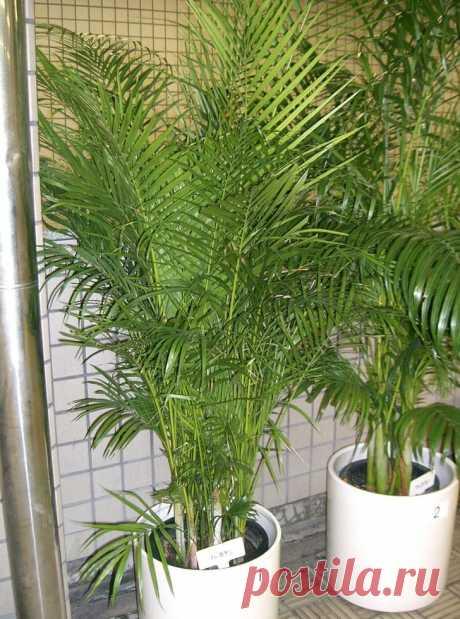 Комнатные растения для тех, кто не хочет портить интерьер своей квартиры увлажнителем воздуха   Мой дом
