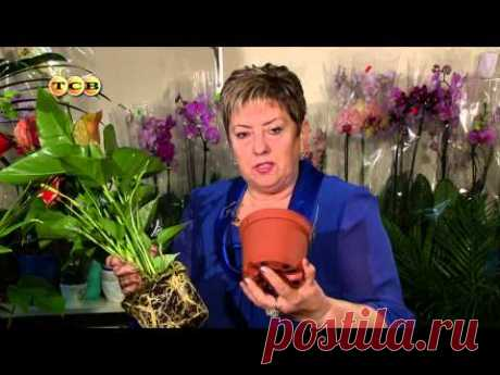 Антуриум - Цветочная лавка