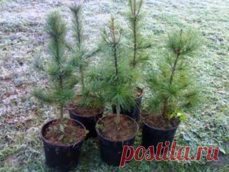 Посадите свой кедр! — 6 соток