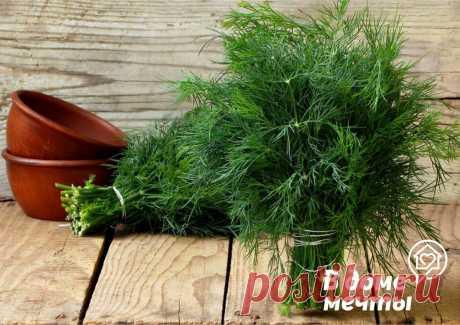 Огород на подоконнике: как вырастить укроп Огородный укроп – это повсеместно распространенное короткоживущее однолетнее растение, предпочитающее тепло и обилие света. При недостатке освещения