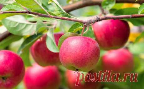 Чтобы яблони были урожайными: 9 советов опытных садоводов - Новости Спектр