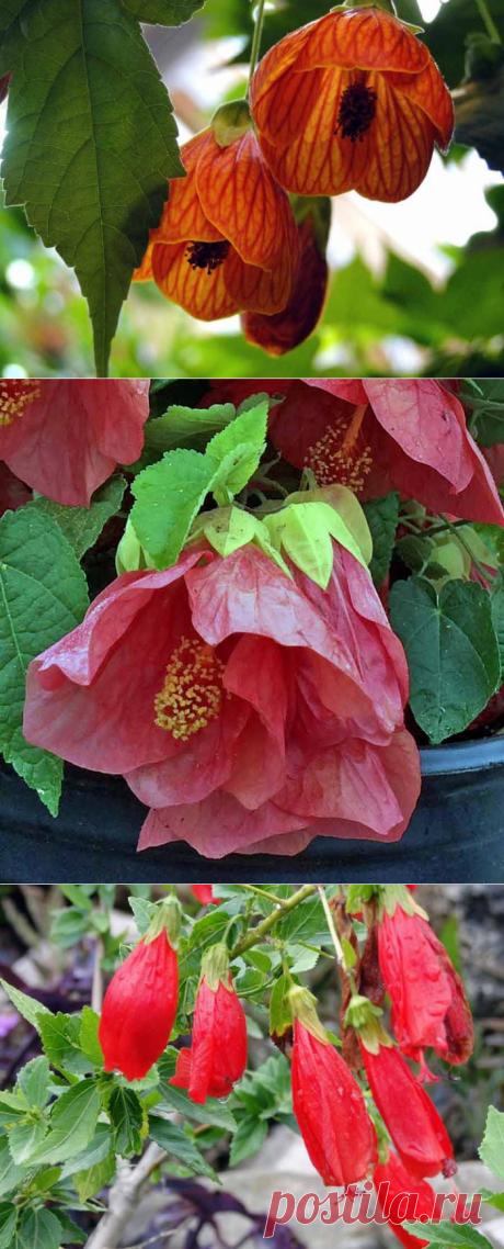 Тропическое растение Абутилон