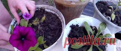 Когда сажать петунию на рассаду в 2020 году по лунному календарю Когда сажать петунию на рассаду в 2020 году по лунному календарю. Как подготовить почву для посадки и семена. Какой сорт петунии выбрать по регионам.