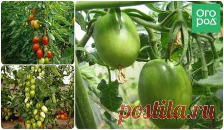 Низкорослые томаты – самые урожайные сорта   Томаты (Огород.ru)