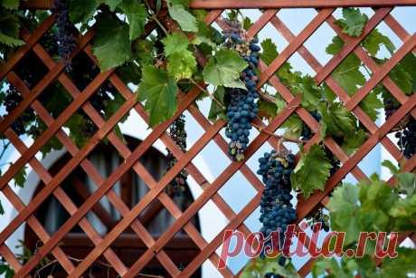 Виноградным кустам требуется опора для хорошего развития и богатого урожая. Лучше всего сделать шпалеру для винограда своими руками