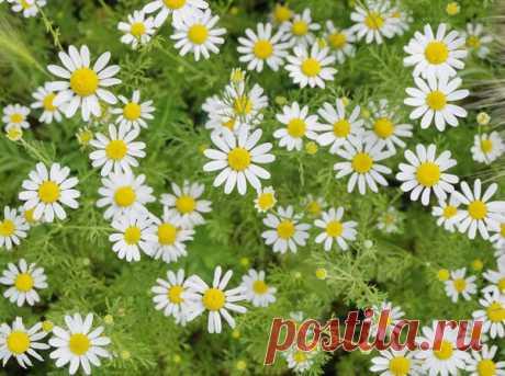 Аптекарский огород на даче: условия размещения, уход и виды лекарственных растений